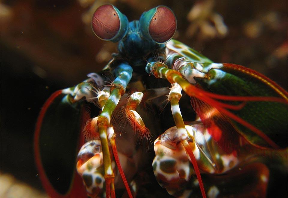Squille - Crevettes-mante