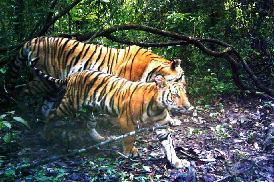 Deux tigres dans une forêt thaïlandaise