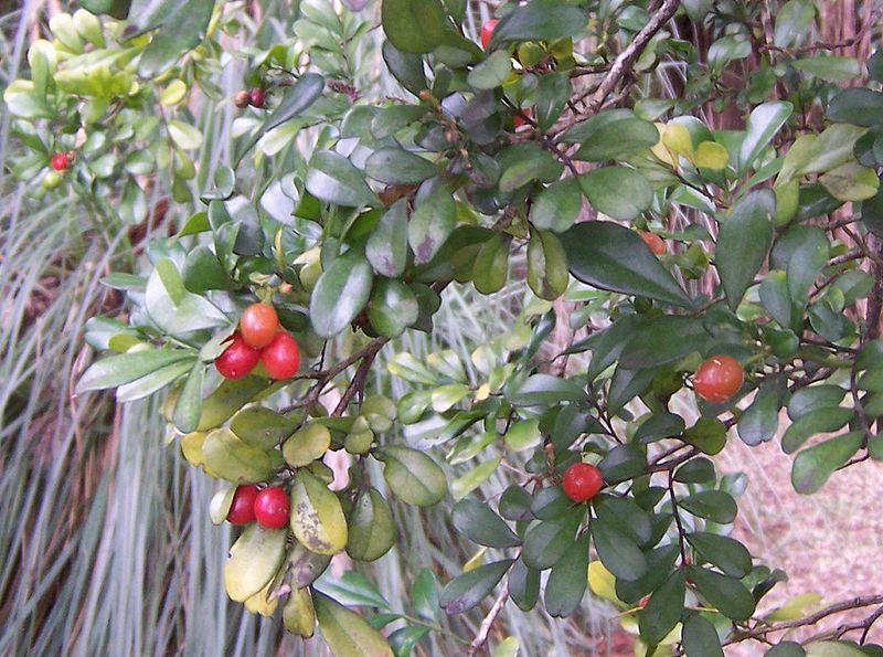 <multi>[fr]Fruits du Murraya paniculata[en]Fruits of Murraya paniculata</multi>
