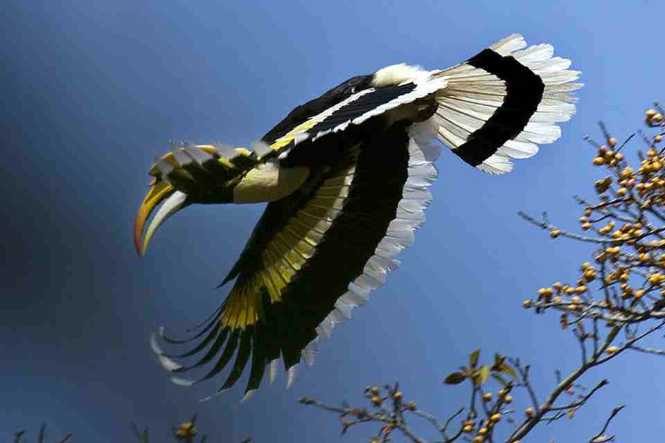 <multi>[fr]Calao bicorne[en]Hornbill</multi>