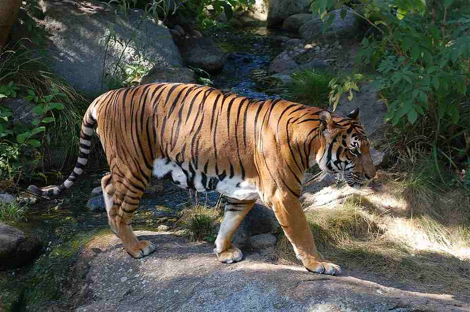Le tigre d'Indochine