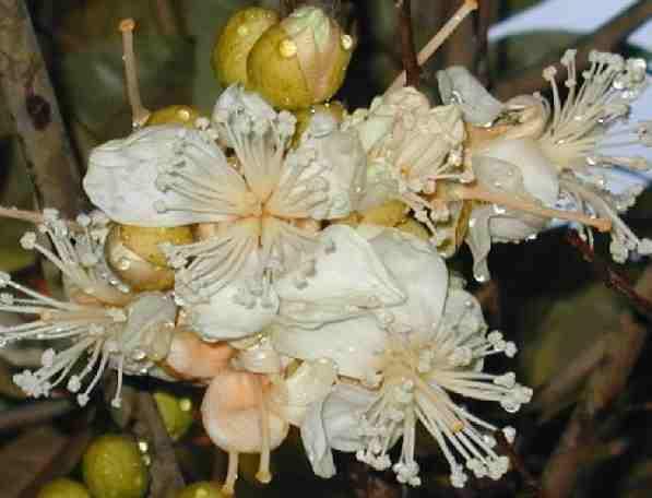 Fleur du durian