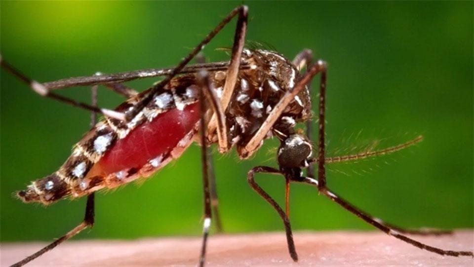 stique tigre - Aedes aegypti