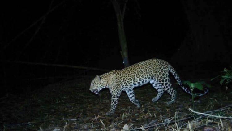 Léopard (Panthera pardus) ou panthère