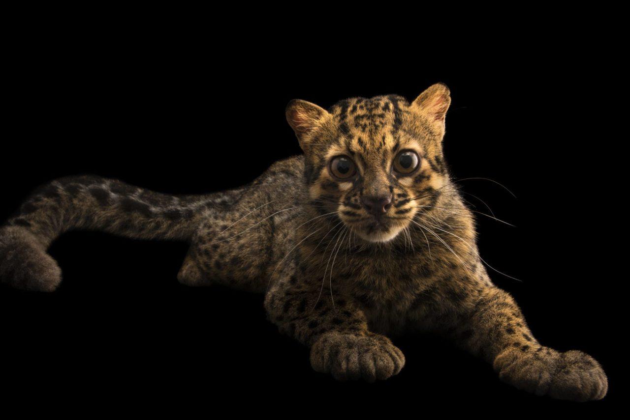 Le chat marbré - Pardofelis marmorata
