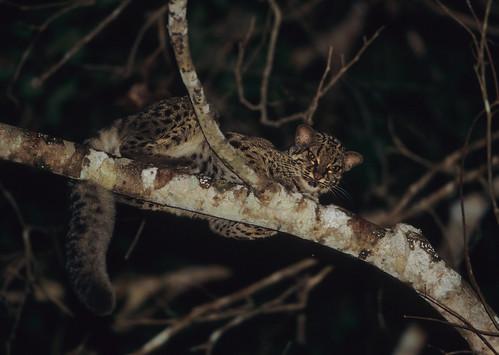 Le chat marbré est un petit chat vivant dans les arbres
